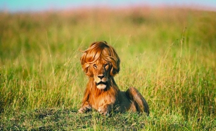lion-with-wig-meme-715x435