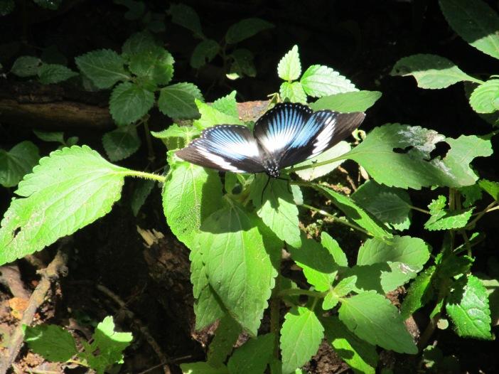 kakamrega-forest-butterfly