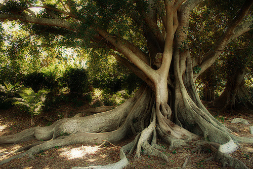 Mugumo tree