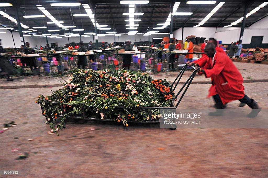 Flower farm workers push a cart loaded w
